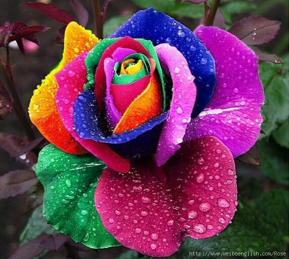 Rainbow rose every color of the rainbow pinterest for How to make a multicolored rose