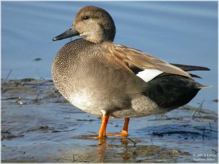 Gadwall | Ducks | Pinterest