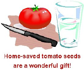 How to save tomato seeds they require a fermentation process to the