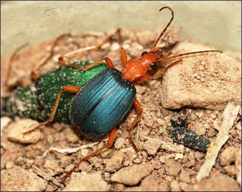 Bombardier beetle defense - photo#27