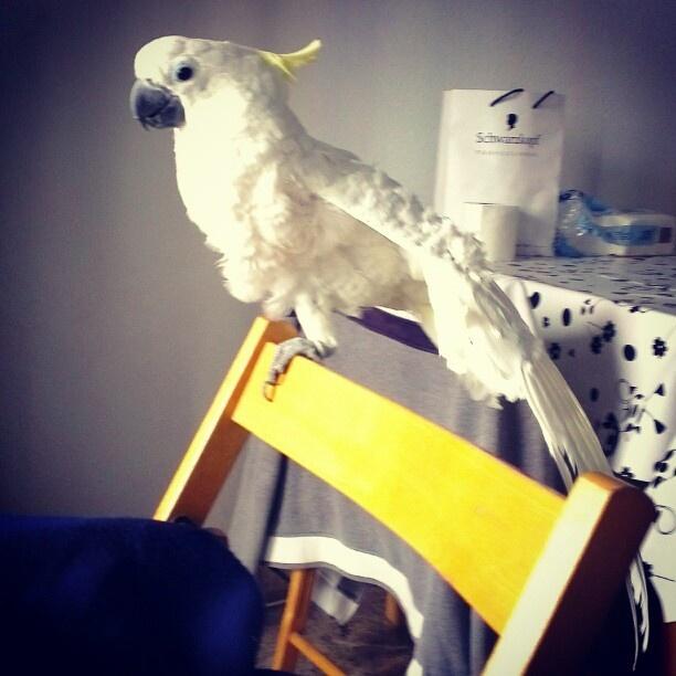 Ejercicios matutinos  #cockatoo Ejercicios matutinos  #cockatoo
