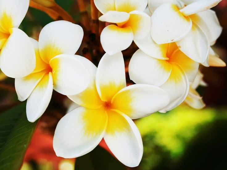 Click to see the original size of Amazing Jasminum Flowers