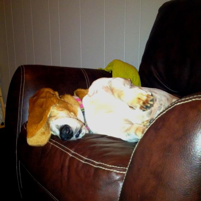 Goofy Basset sleeping ...