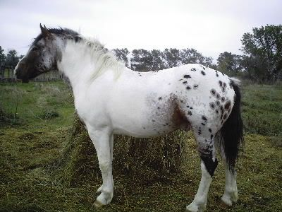 paint clydesdale - photo #20