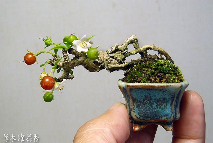 miniature apple tree bonsai life 39 s a garden dig it. Black Bedroom Furniture Sets. Home Design Ideas