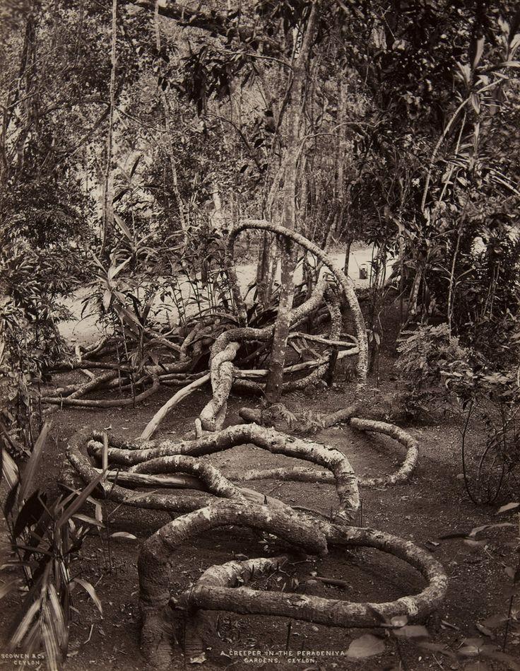 Peradeniya Gardens, Ceylon   Charles T. Scowen   albumen print, 1870