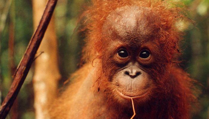 Smiling baby orangutan - photo#19