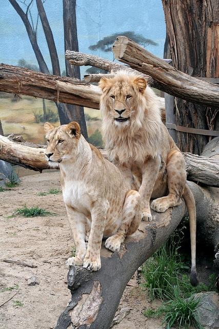 Katanga Lion and LionessKatanga Lion