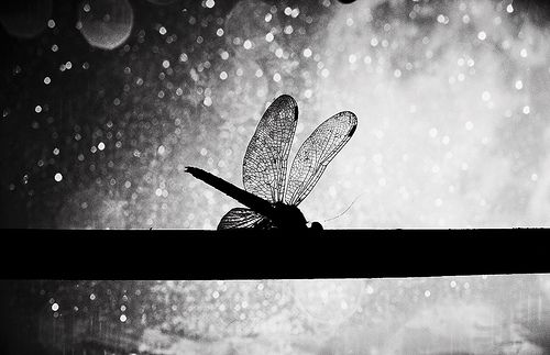 dragonflies are love in motion