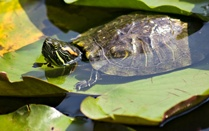 How to care for aquatic turtle School Pinterest
