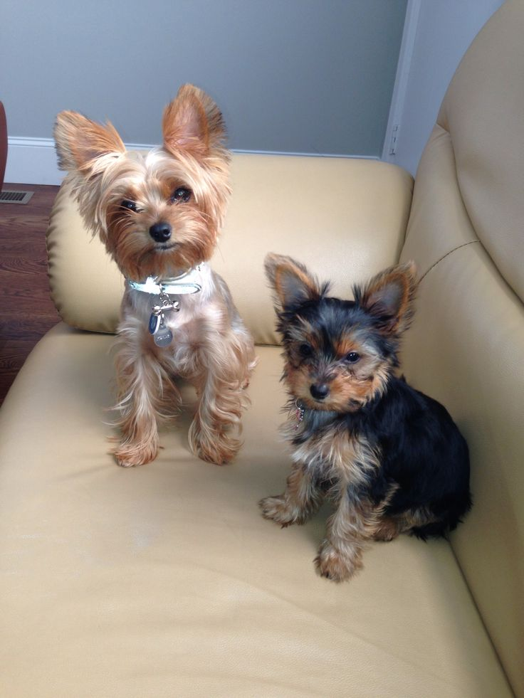TRENDING Place your Yorkie on a comfortable spot on the floor or on a