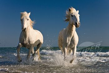 White horses running on beach pictures
