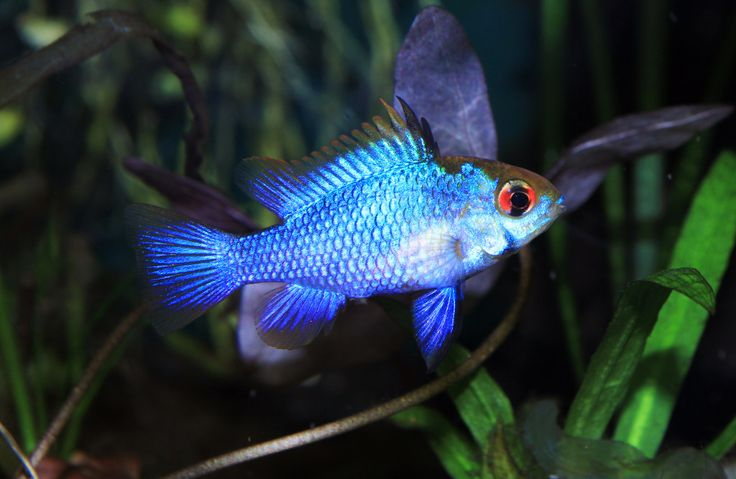 electric blue ram fish reptiles pinterest