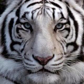 Siberian TigerWhite Siberian Tiger Eyes