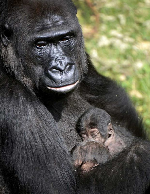 Gorilla N'Gayla just gave birth to twins in a Dutch zoo. A rare thing ...