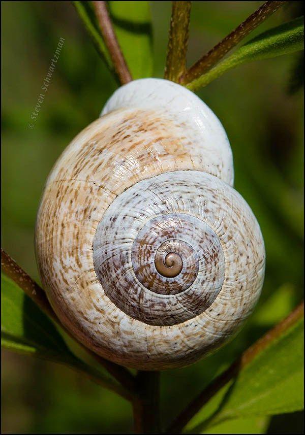 Snail 0497 by � 2014 Steven Schwartzman | I love Photography ...