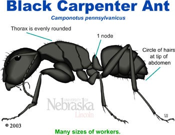 how to kill carpenter ants in walls