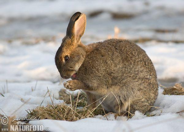 Wild Backyard Rabbits : Wild Rabbit  Pattern Fox vs Hare  Pinterest