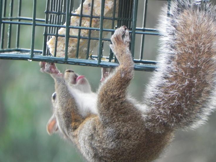 "Squirrel storming the ""squirrel-resistant suet palace"""
