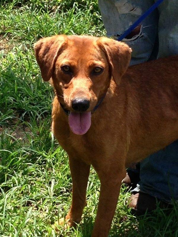 Redbone Coonhound Lab Mix