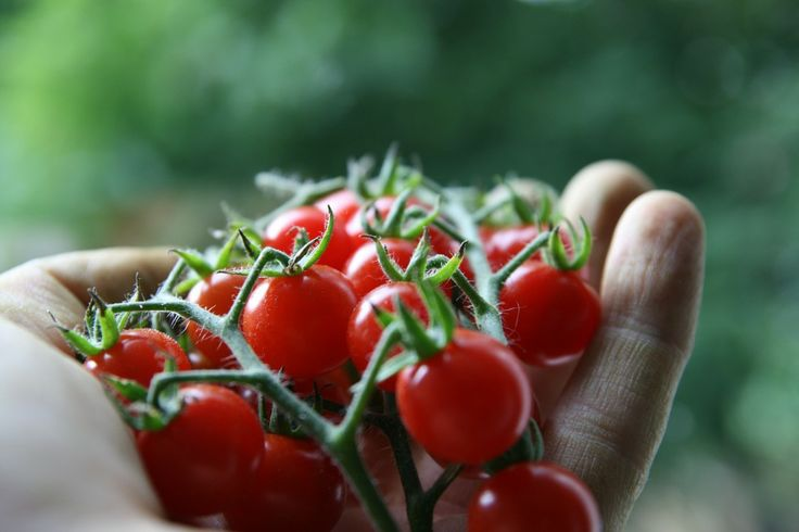 Growing Cherry Tomatoes Growing Tips Plant Care Pinterest