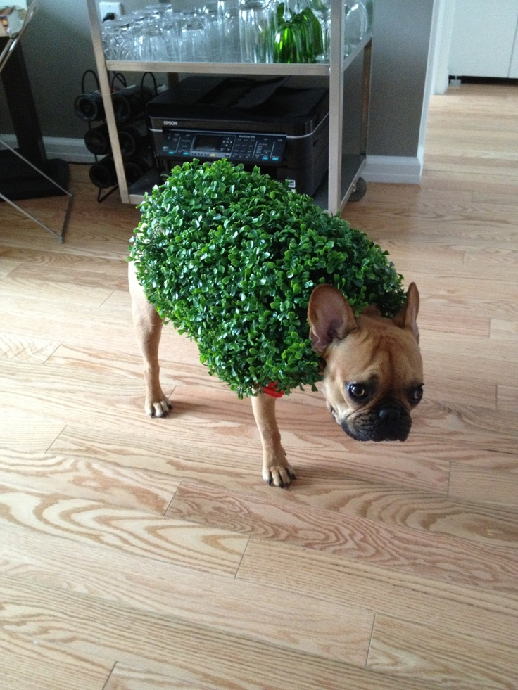 French Bulldog - Chia Pet costume