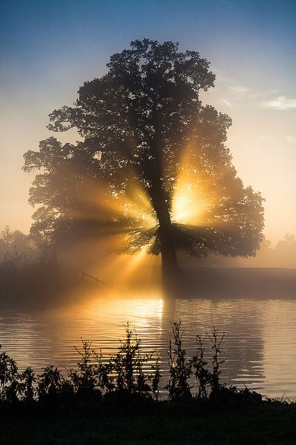 Sunrise oak  Trees  Pinterest
