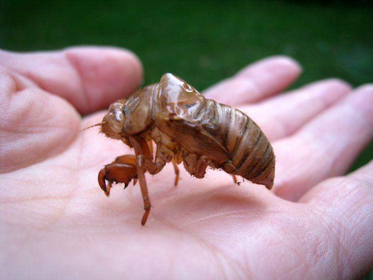 Cicada shell. | I'm Charmed | Pinterest
