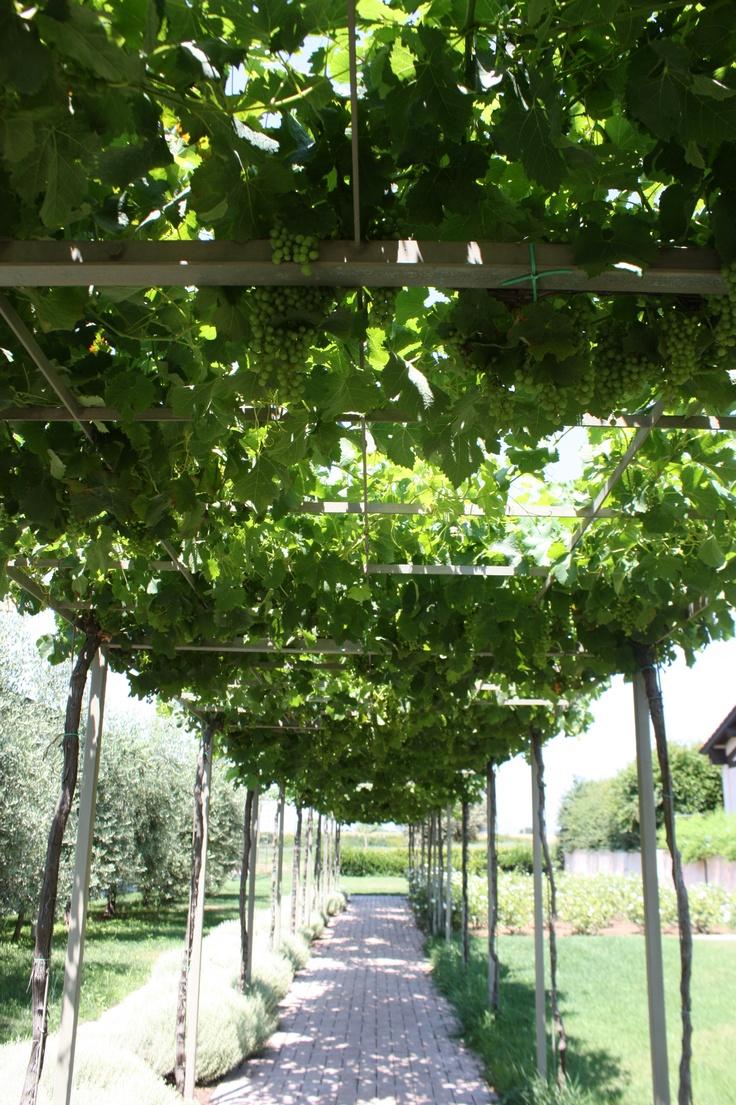 Pinterest garden ideas grape trellis photograph grapevine for Pinterest garden design