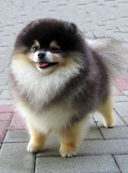 Black Tan Pomeranian | Pomeranian | Pinterest