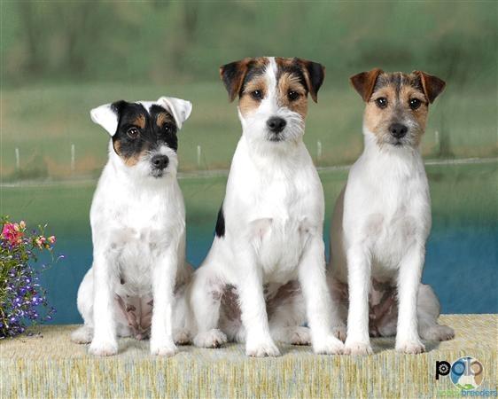 Le Parson Russell Terrier F7fd15b86396dbdc2e33f145c2cd58a5