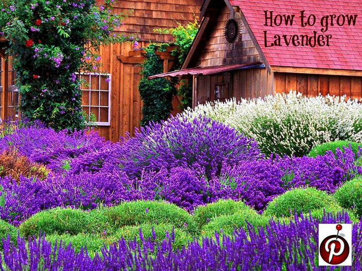 how to grow lavender way to plant ann pinterest. Black Bedroom Furniture Sets. Home Design Ideas