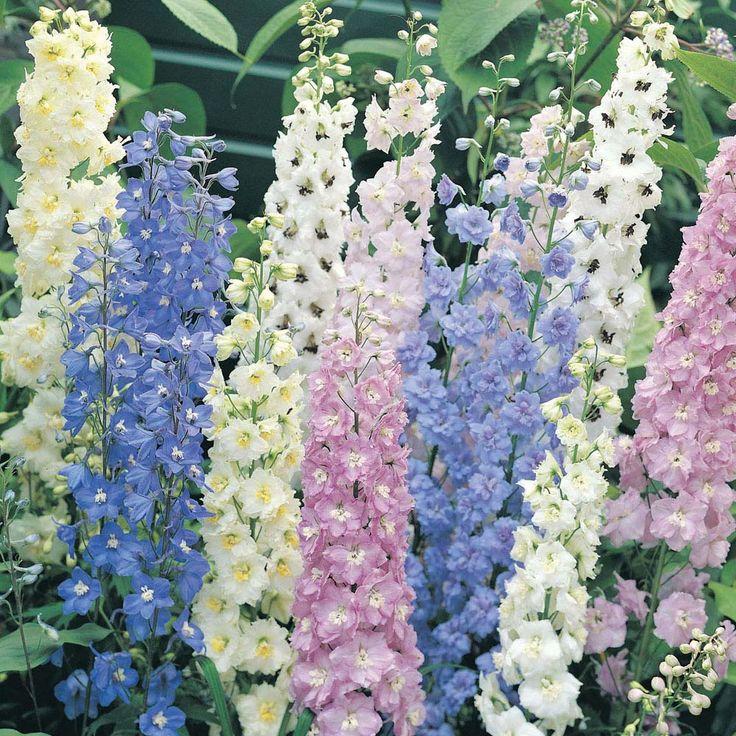 Delphinium Garden Of Delphinium Pinterest