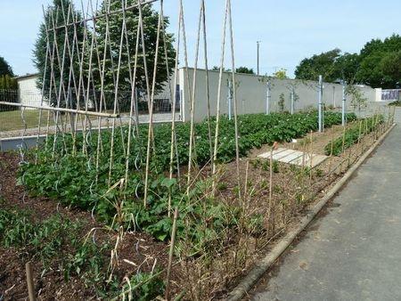 Rames a haricots jardin pinterest - Haricot a rame ...