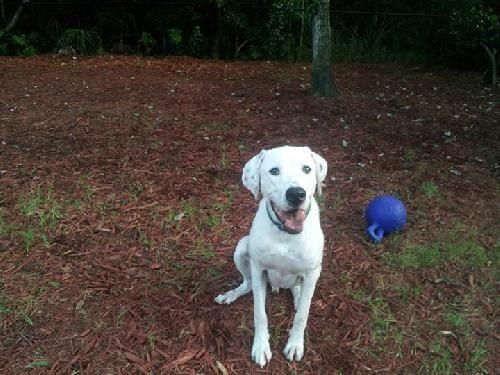 Dog Ready For Adoption Dalmatian Labrador Retriever Mixed Medium   Dog ...