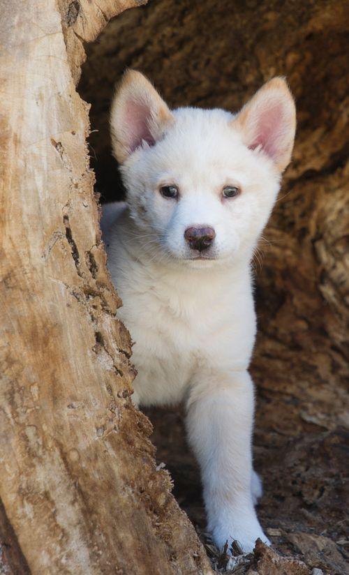 Dingo puppies cute - photo#24