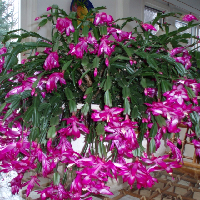 Christmas cactus. My Grannie's plant would always be in full bloom at ...