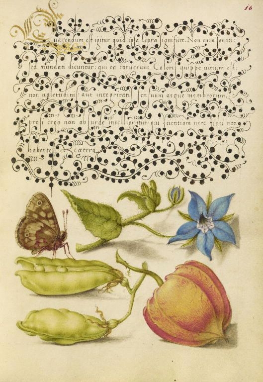 "Speckled Wood, Talewort, Garden Pea, and Lantern Plant, in ""Mira calligraphiae monumenta"", calligrapher: Georg Bocskay (died 1575) in 1561/2, illumination: Joris Hoefnagel (1542-1600) in 1591/6"