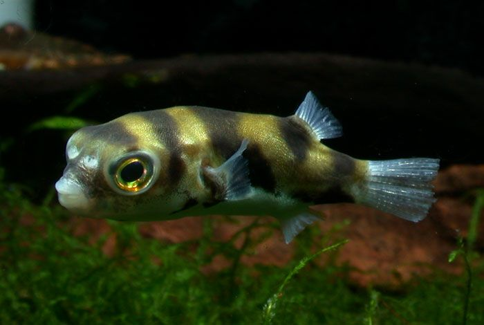 amazon puffer colomesus asellus 2014 freshwater fish