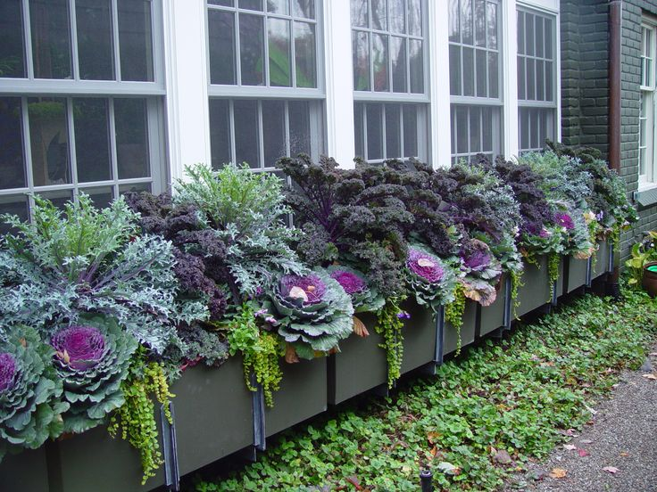 Autumn window box  SFH Adds: Here in NC we can plant these wonderful cabbage/kale in the fall and they will last the winter. Great foliage and color. This photo showcases these great plants and took an artists eye to plant these containers. So successful!