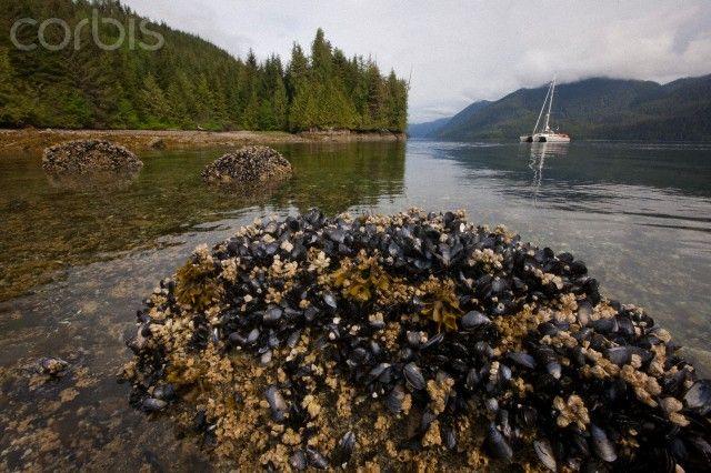 Princess Royal Island, Great Bear Rainforest, British Columbia, Canada. A bed of mussels is exposed during the low tide.