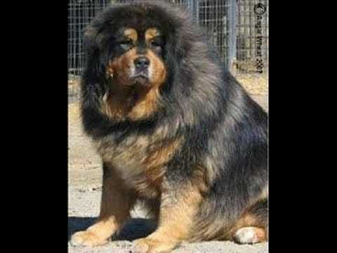 Caucasian Shepherd Russian Prison Dogs | Caucasian ...