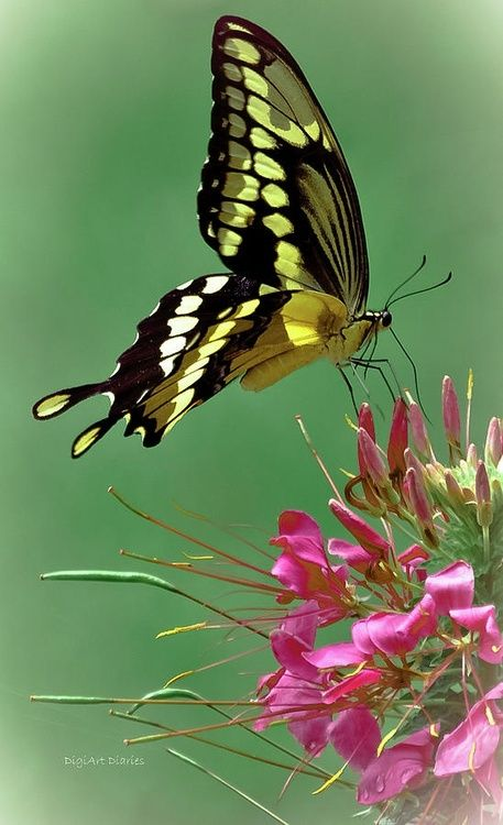 Delicate Swallowtail in flight.