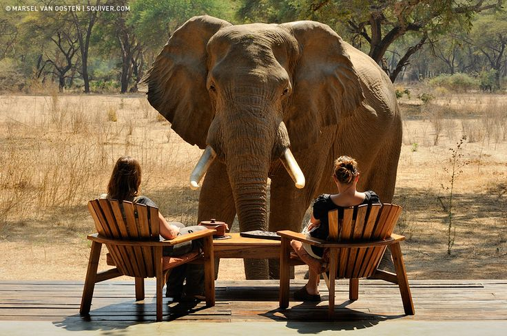 could you imagine?  this elephant came in to check out these 2 ladies in a truly still wild part of africa, zambia.  taken right on the banks of the zambezi river.  they sat perfectly still as to not upset this wild elephant.