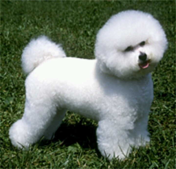 Bichon Frise | All dog breeds | Pinterest