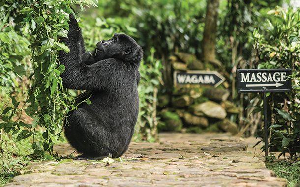 Gorilla Sighting: Rwanda & Uganda, #Sustainable safaris, #OrganicSpaMagazine #travel