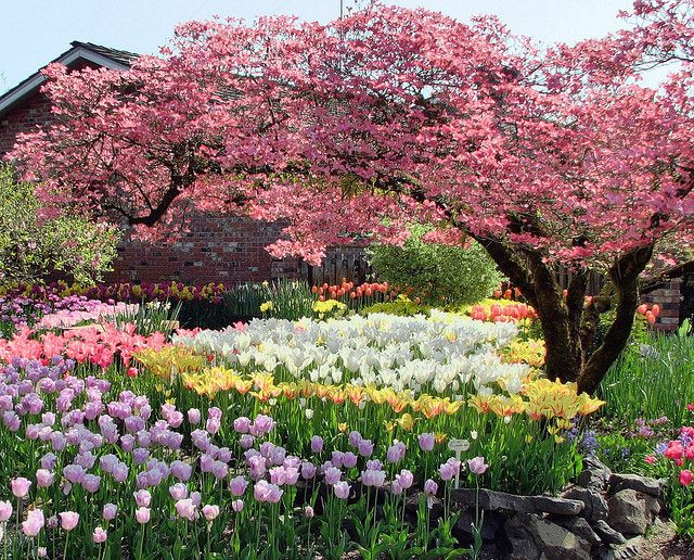 .\Love this mass of tulips and the pink dogwood!!