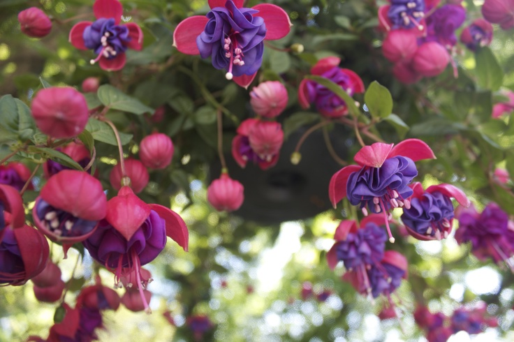 Hanging Flower Baskets That Attract Hummingbirds : Pin by bianca croft on victory gardens