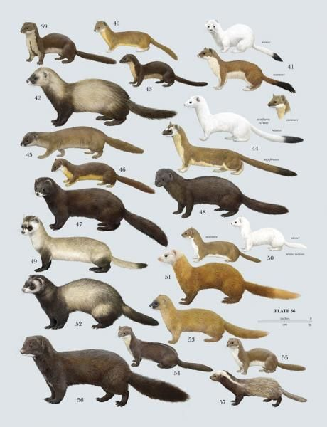 Family Mustelidae (Weasels and relatives)