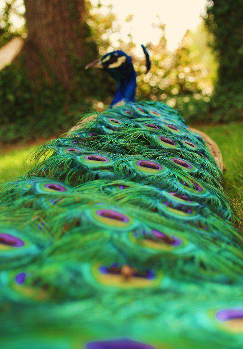 Peacock :-)
